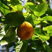 mandarino tardivo