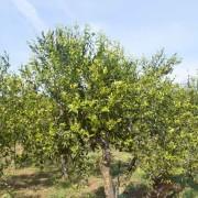 mandarineto nella borgata ciaculli
